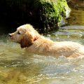 Swimming-dog