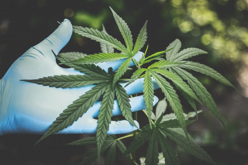Cannabis-freshness-hand